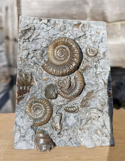 Echioceras sp bed. Watch ammonite stone Charmouth, Jurassic coast, UK