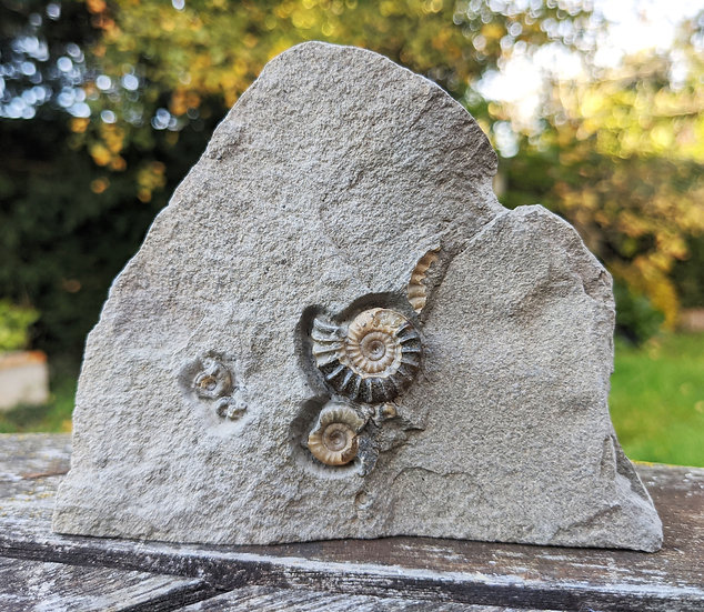 2 cm calcite Promicroceras, Lower Lias, Charmouth, Jurassic coast, Do