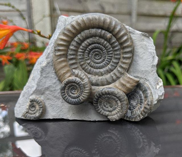 6 cm Vermiceras ammonite fossil, Monmouth beach, Lyme Regis, UK