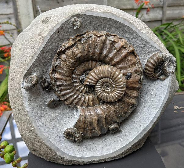 12 cm Androgynoceras lataecosta, Lower Pliensbachian, Charmouth