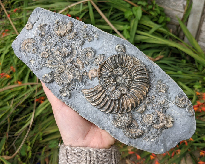24 cm multi ammonite bed, Caenisites and others Lower Sinemurian, Charmouth