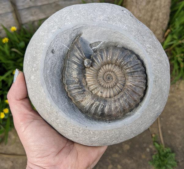 8.5 cm Androgynoceras lataecosta, Lower Pliensbachian, Charmouth