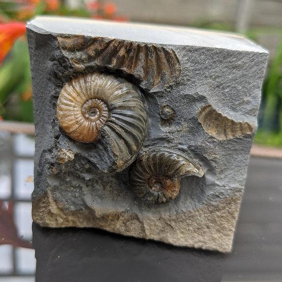 2.5 cm Caenisites brooki, Lyme Regis, Monmouth beach, Jurassic coast.
