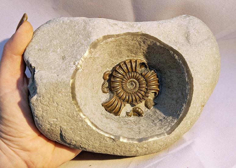 6 cm Arnioceras semicostatum, Lower Jurassic, Monmouth beach, Lyme Regis
