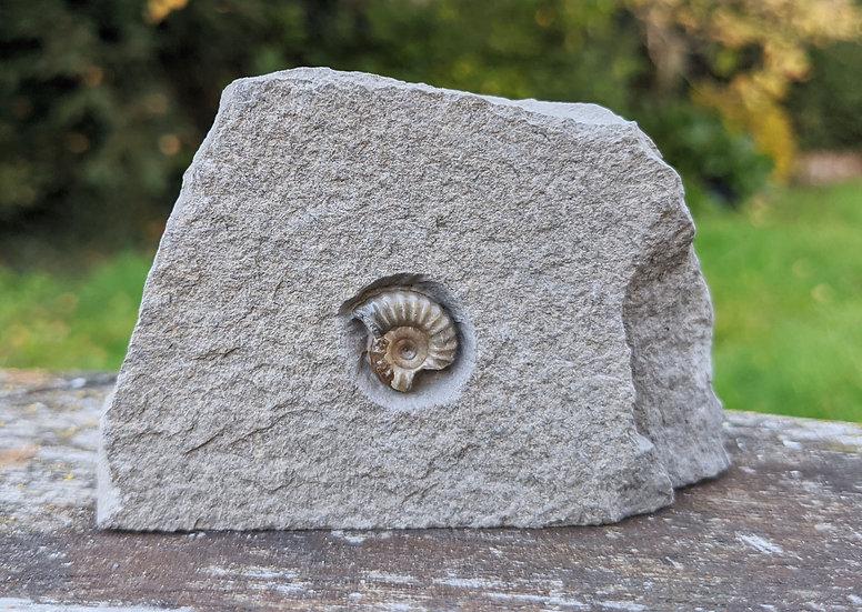 1 cm calcite Promicroceras, Lower Lias, Charmouth, Jurassic coast, Do