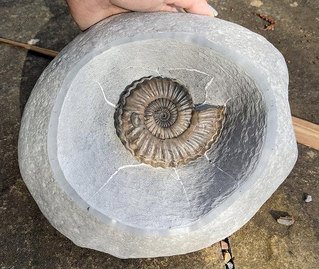 9 cm Androgynoceras lataecosta, Lower Pliensbachian, Charmouth, Jurassic coast