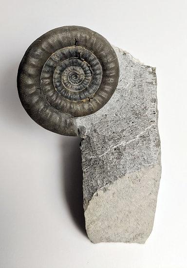 3.5 cm Vermiceras ammonite fossils from Monmouth beach, Lyme Regis