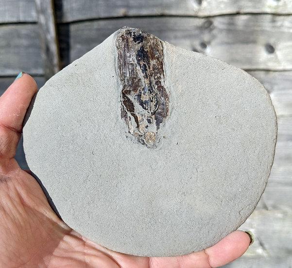 Partial Loligosepia squid fossil, Charmouth, Jurassic coast.