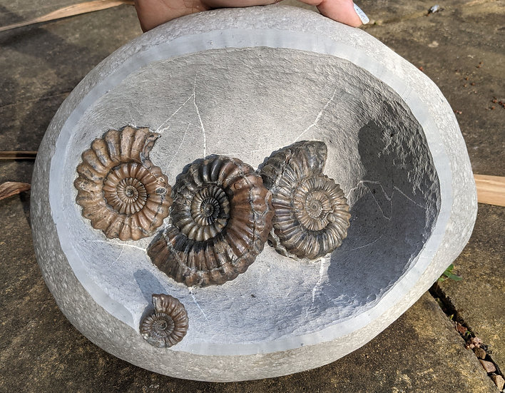 8.5 cm Androgynoceras lataecosta trio, Lower Pliensbachian, Charmouth, Jurassic