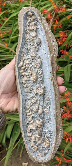 27.5 cm multi ammonite bed, Caenisites and others Lower Sinemurian, Charmouth