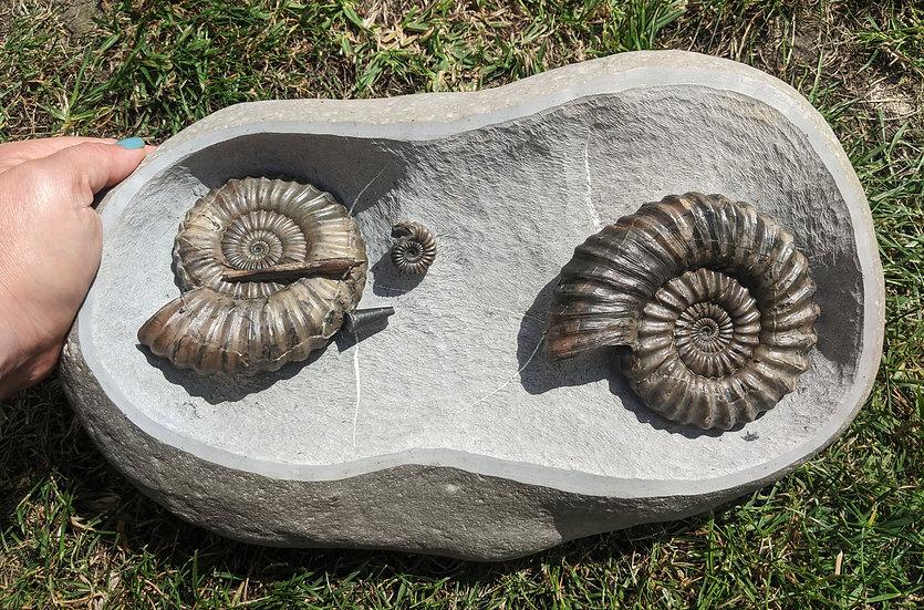 Large double Androgynoceras lataecosta, Lower Pliensbachian, Stonebarrow beach