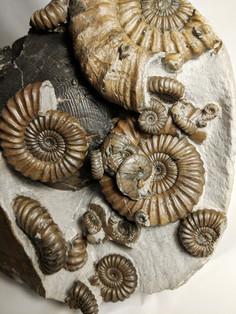 Nautilus with Androgynoceras