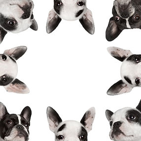 Low-angle-collage-of-French-bulldogs-in-