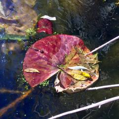 Nénuphar rouge du lac gelé