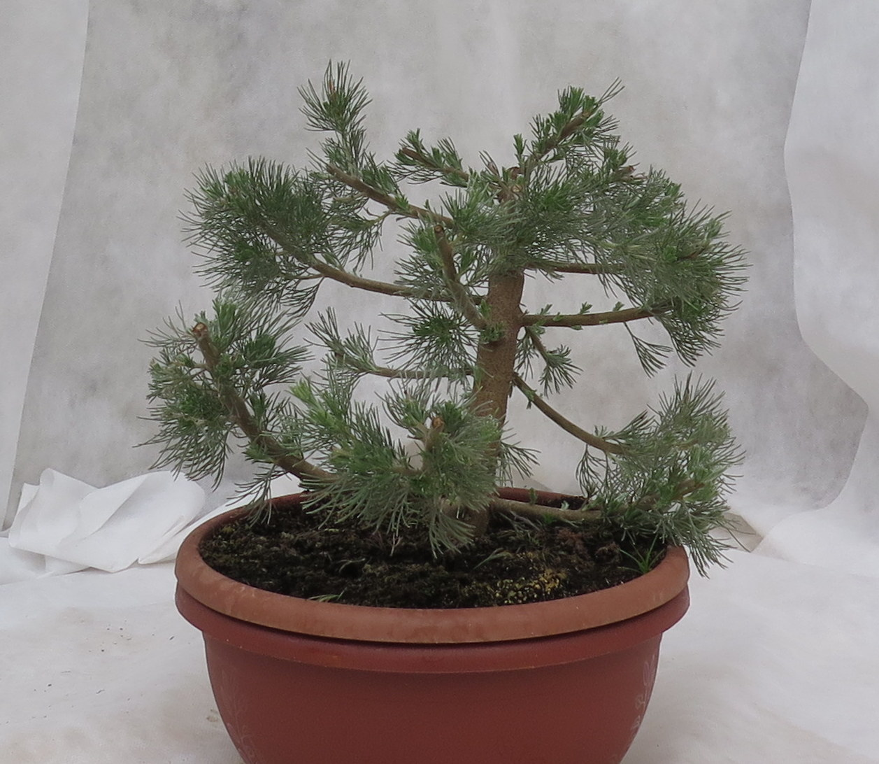 Chris-Tal Bonsai shaped