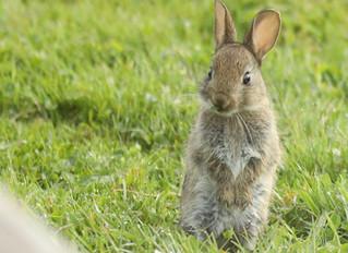 Ce matin, un lapin...