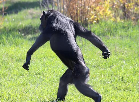 Fun And Interesting Facts About Bonobos