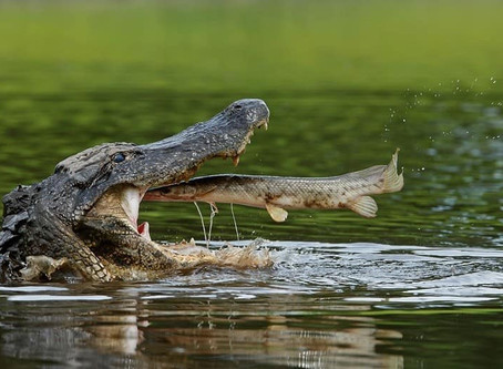 Fun And Interesting Facts About Alligators