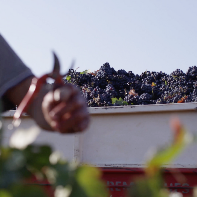 benoit_valerie_calvet_grape_harvest.png