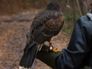 Falconry Course - May 20th to 22nd