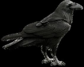 Raven_Transparent_PNG_Picture.png