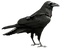 Raven_Transparent_PNG_Picture.png