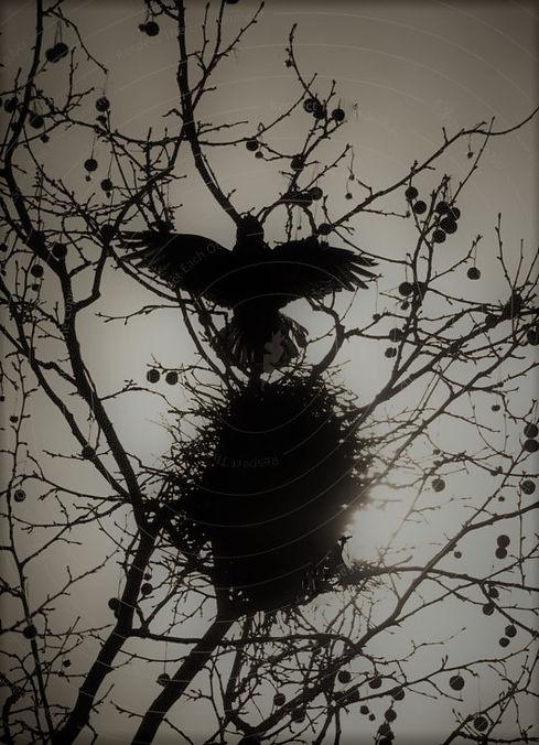 294170-raven-black-environment-nature-pl