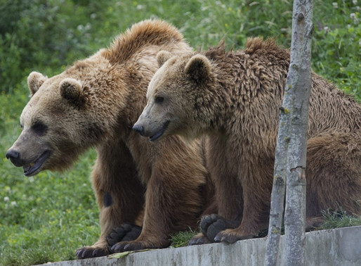 Bärenzucht-Projekt steht kurz vor Entscheidung