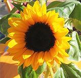 Sonnenblume_EHL.jpg
