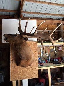 Bugling elk.jpg