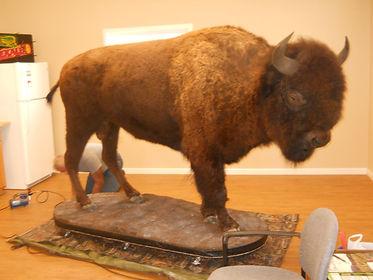 Buffalo Work at Site.JPG