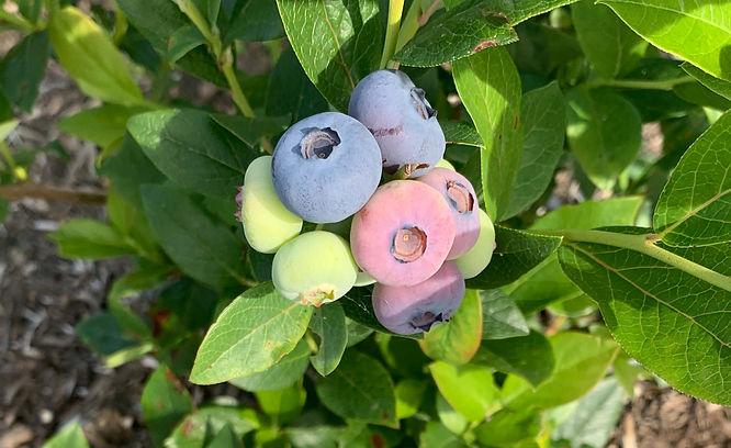 Berries VOEN.jpg
