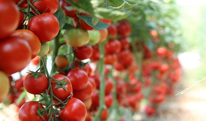tomatoes (2).jpg