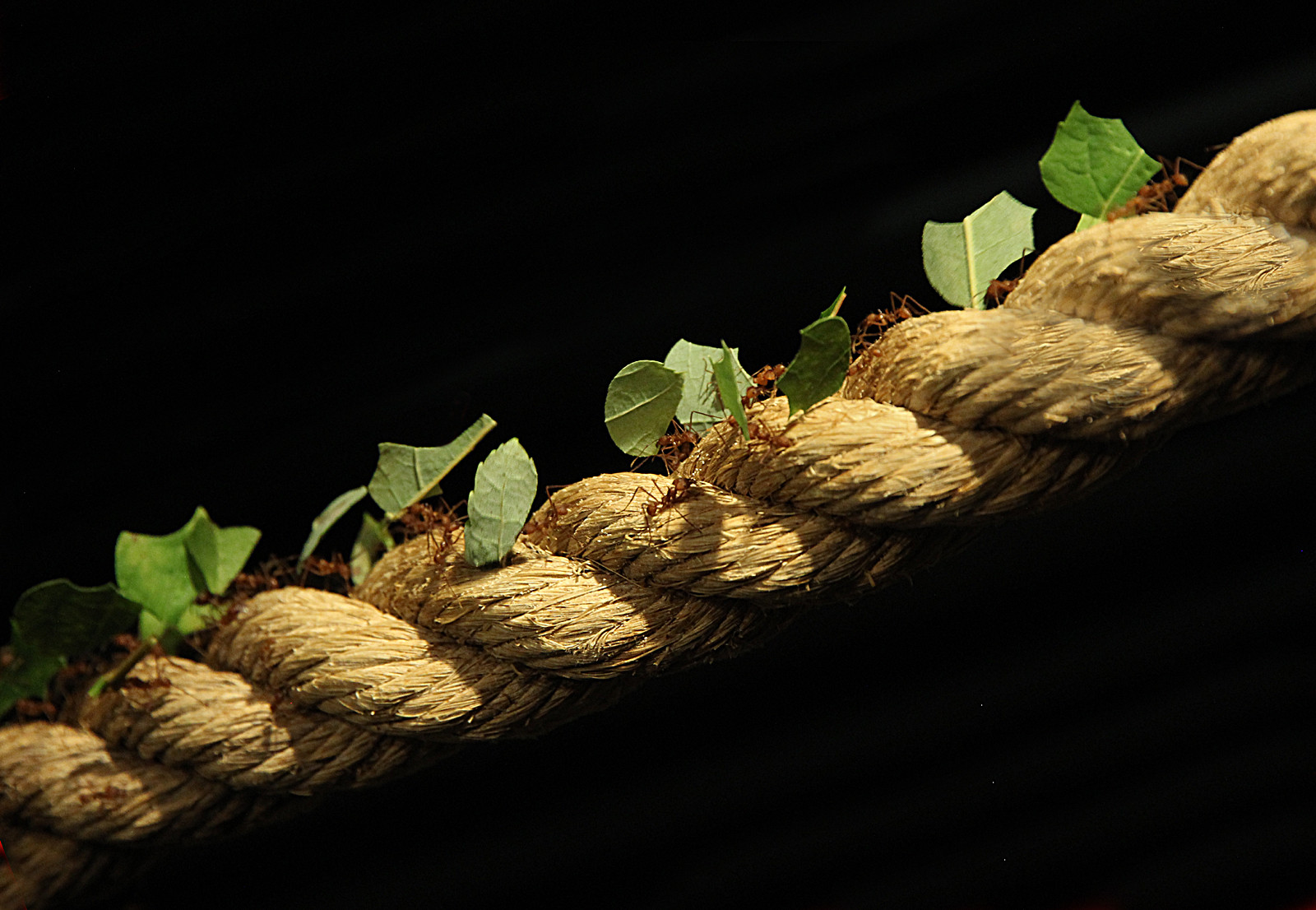 PDI - Leaf-cutter Ants in Transit by Peter Knott ( 13 marks) - Starred
