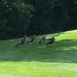 Wild turkeys at Kingsville Golf