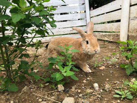 ウサギのえさやり体験が再開しました!