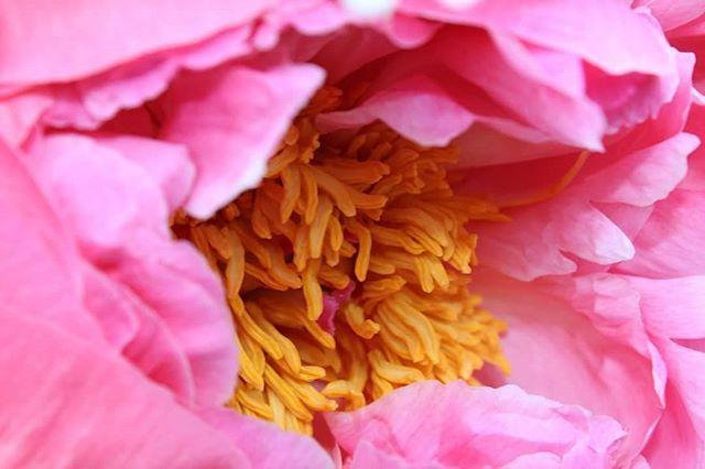 Peonies _#flowerpower _#flowers _#flowerchild _#peoniesaremyfavorite _#peonies
