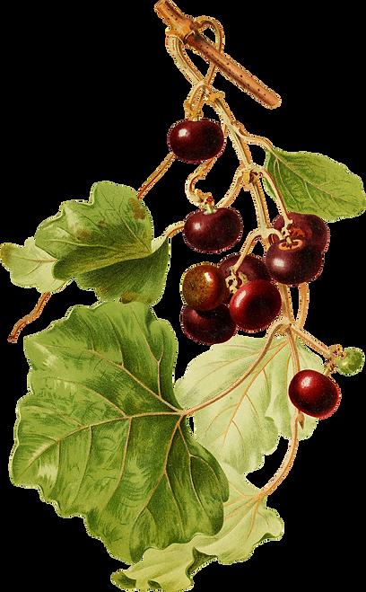 Cape-Grape copy.png