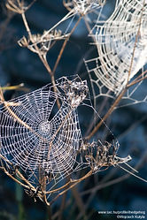Brilhando Aranha Webs
