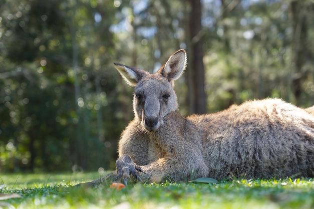 close-up-half-body-big-kangaroo-lies-down-have-rest-green-grass-park.jpg