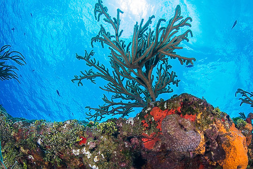 Looking Up at a Cozumel Reef Print