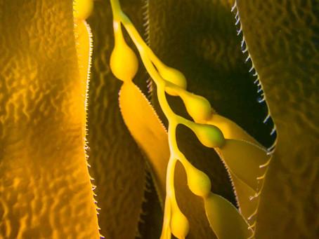 Beauty Beyond the Seaweed: Giant Kelp, Macrocystis pyrifera