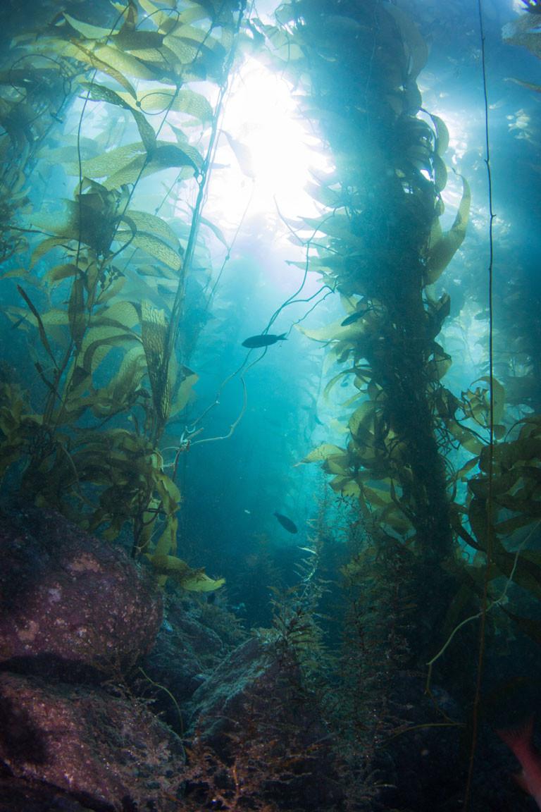 channel islands kelp forest