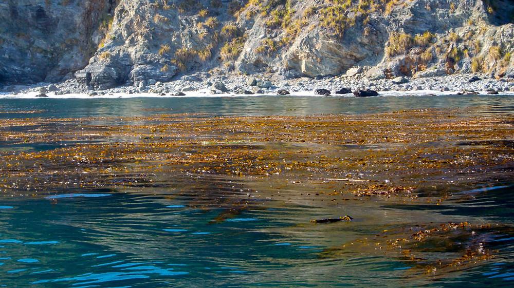 giant kelp floating on ocean surface