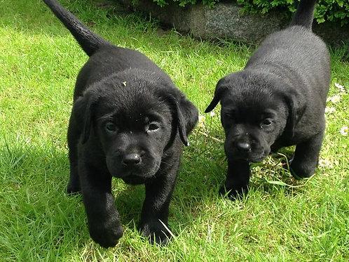 Labrador Dişi sandy ve emma