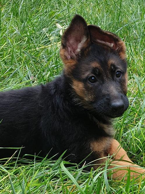 Alman Çoban köpeği yavrumuz Pami