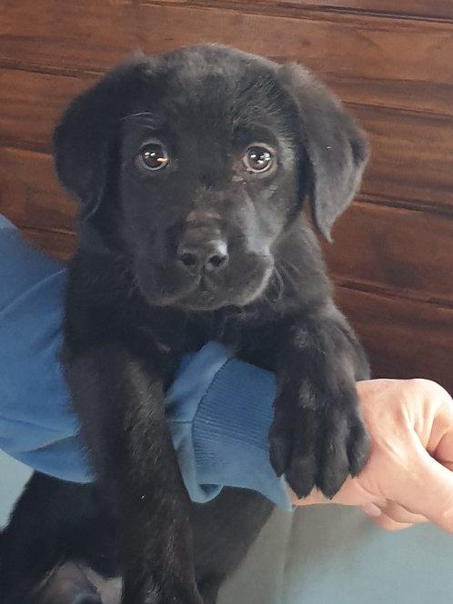Oscar siyah Labrador Yavrumuz