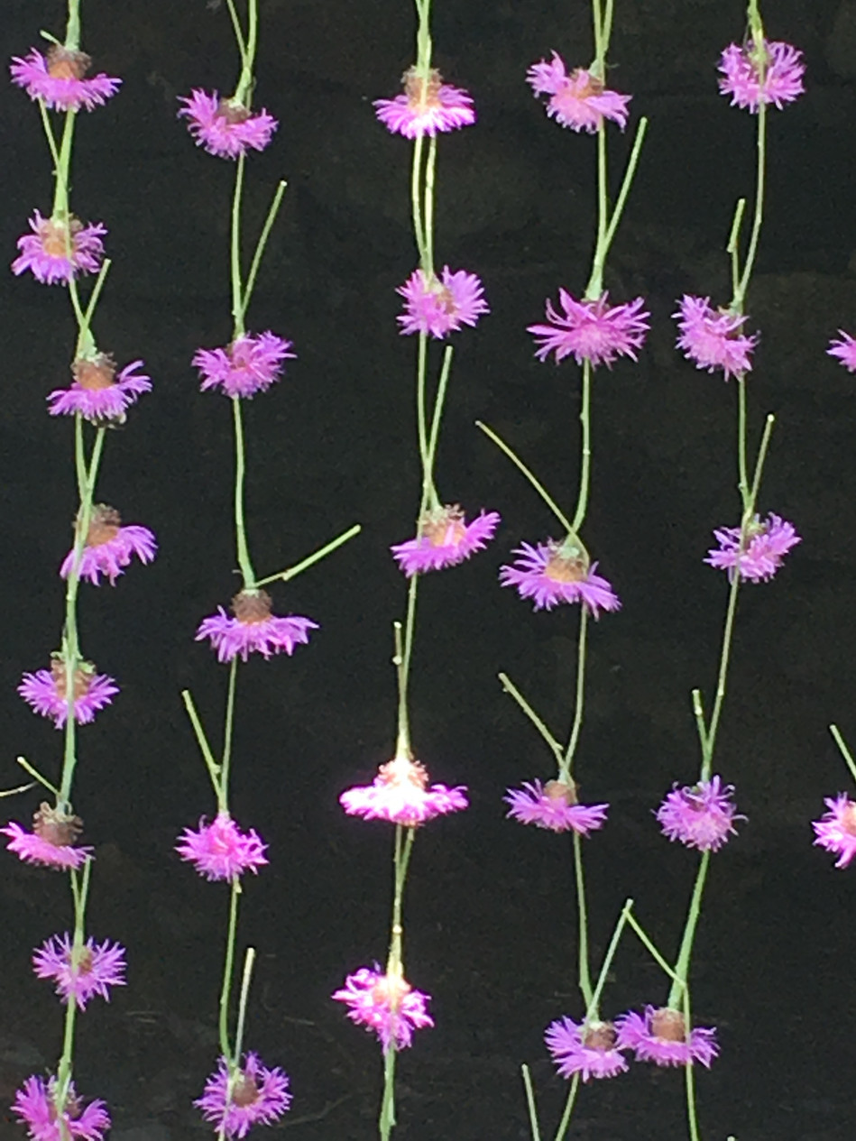 Knapweed Curtain, 2018, in collaboration with Nils-Udo