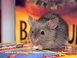31-house-mouse.jpg