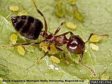 acrobat-ant_insectimagesorg.jpg